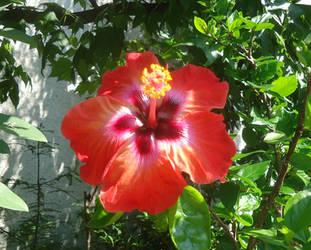 Hibiscus rosa-sinensis hybrid by AANGELOO