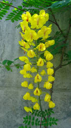 Caesalpinia japonica