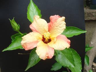 Hibiscus sinensis double