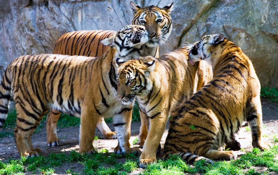 Image result for tiger group