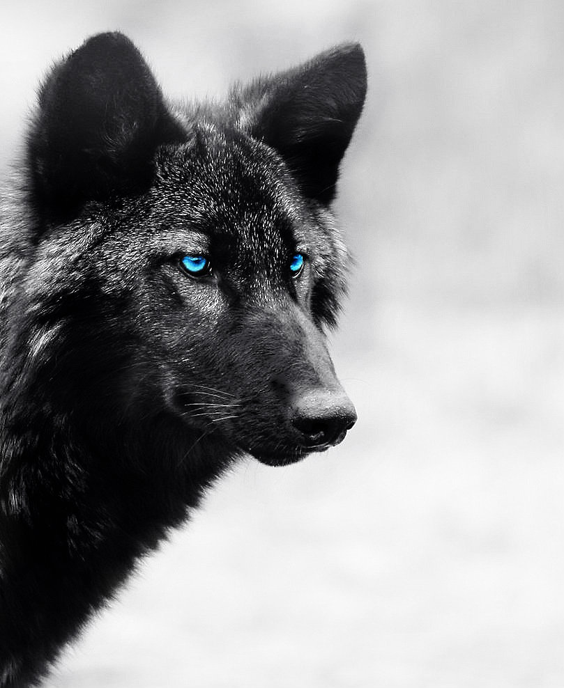 Black wolf with blue eyes drawing - photo#55