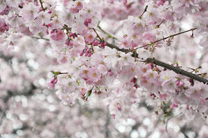 Cherryblossoms (3) by my-little-photoworld