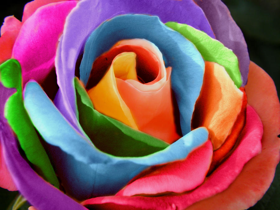 Rainbow rose by photomaker99 on deviantart for Where can i buy rainbow roses