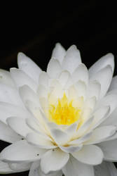 White Water Lily by Elfedward