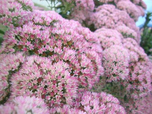 Pink Flowers by iiibrokeyhu