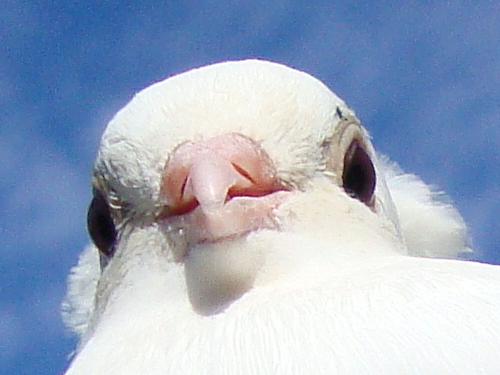 Pigeon by iiibrokeyhu