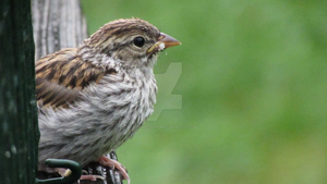 Fledgling Chipping Sparrow