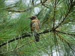 Fledgling Robin in the Pines
