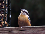 Good Ol' Nuthatch