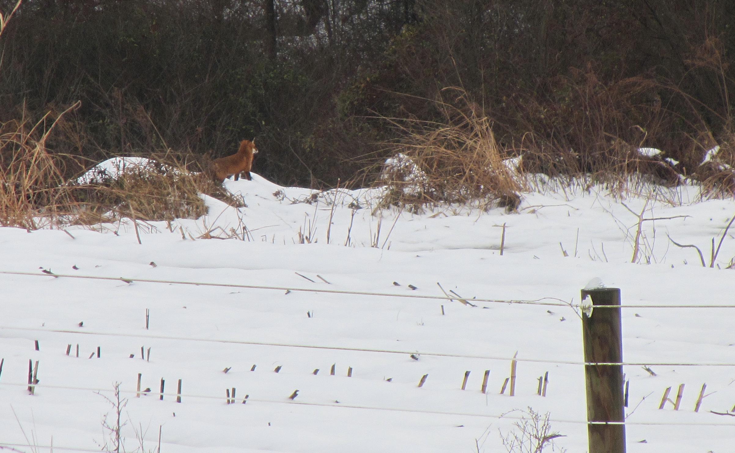 Fox Gazing