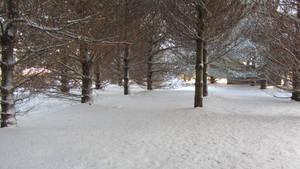 Backyard Pines.