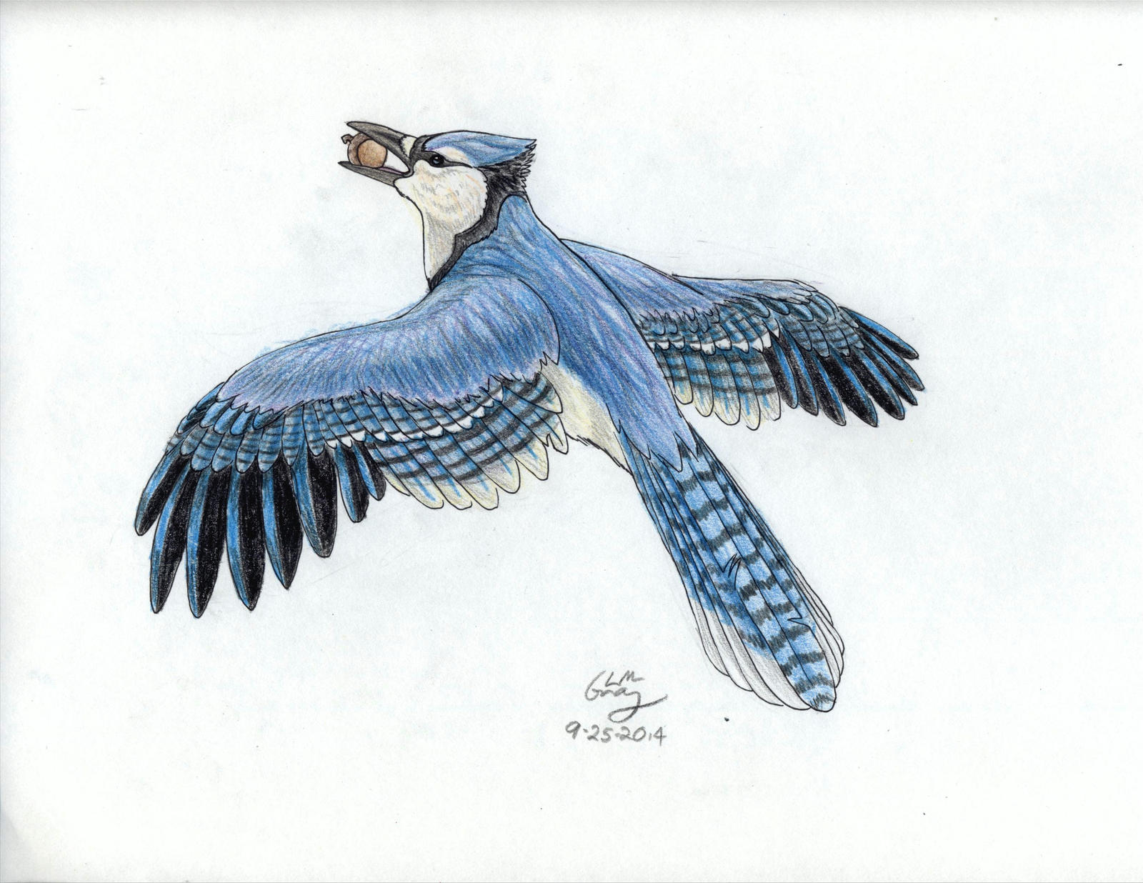 Blue Jay With His Acorn Prize