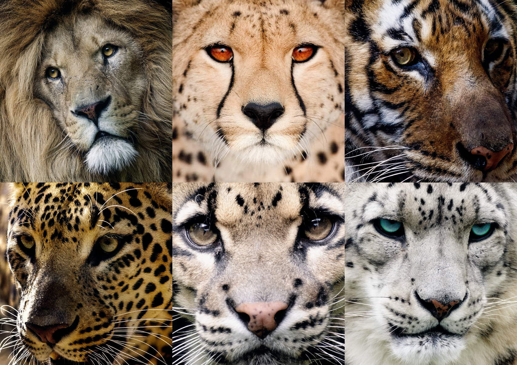 The 6 Big Cats of Asia...