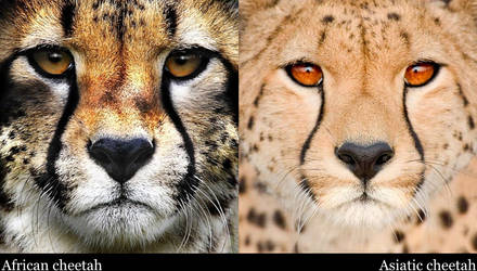 African and Asiatic cheetah by Legend-tony980