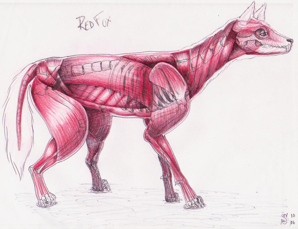 Red Fox Muscle Structure by swinters on DeviantArt