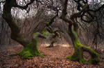 Twisted beeches