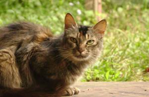 Rosewood Cat by siddhartharun