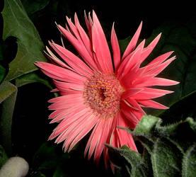 pinkie by FlowerLisa