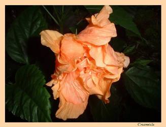 Creamsicle by FlowerLisa