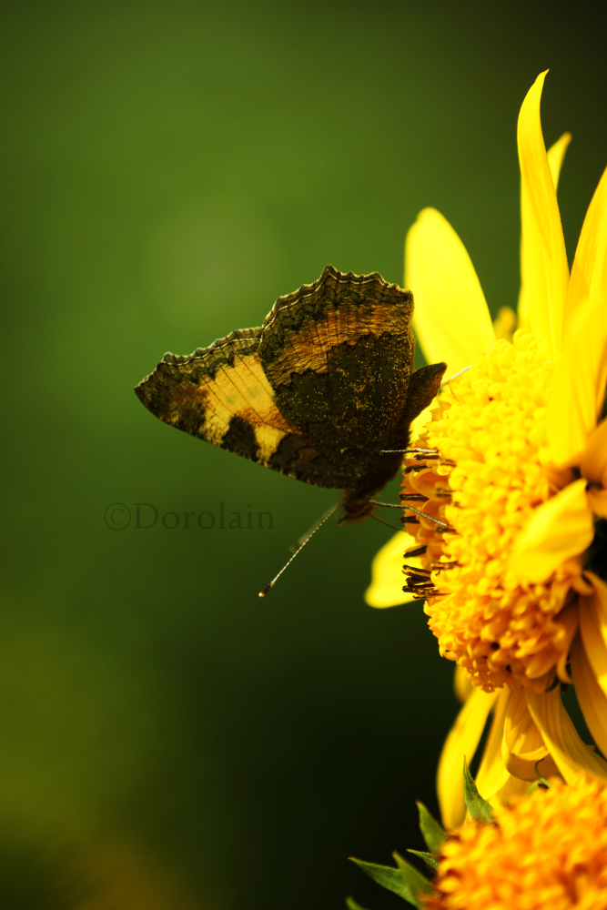 Brown Butterfly by dorolain