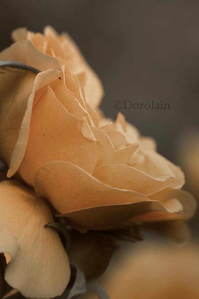 Rose by dorolain