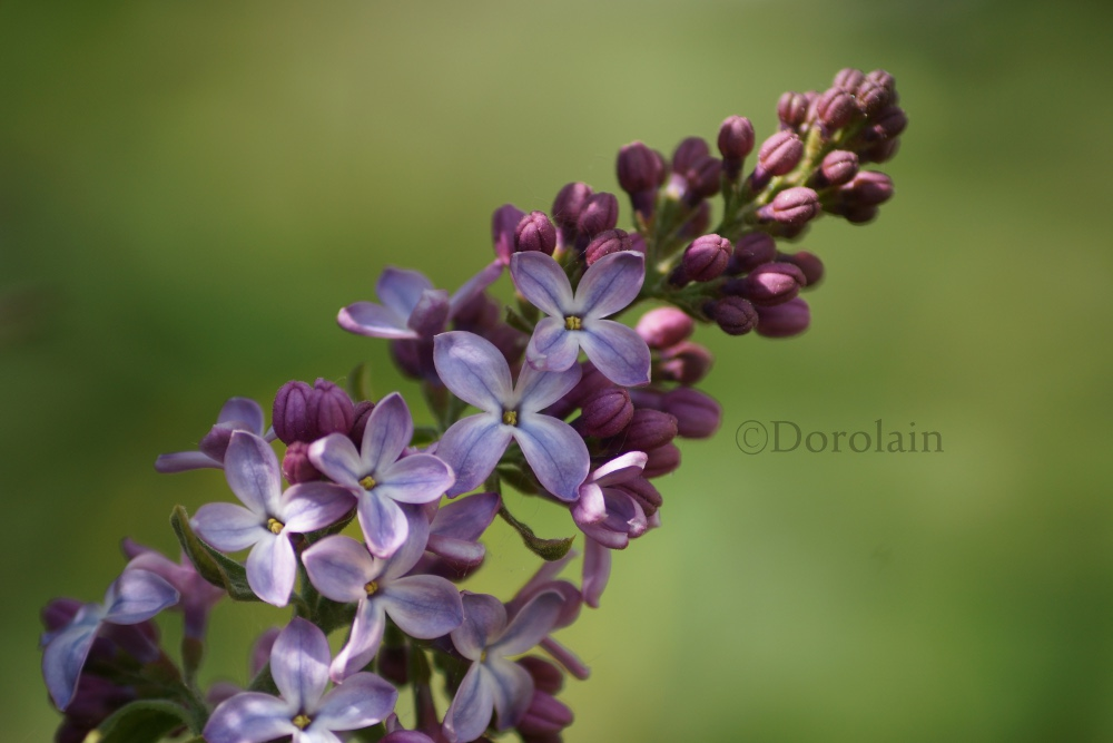 Lilac by dorolain
