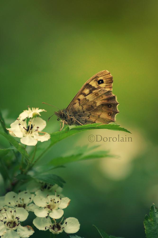 Little Butterfly by dorolain