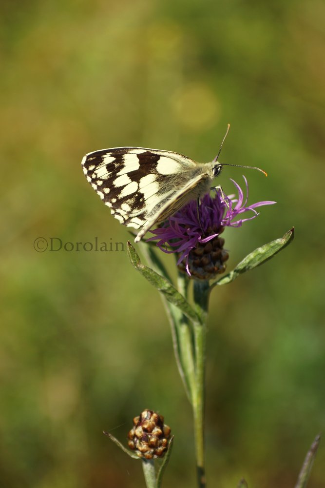 White Butterfly by dorolain