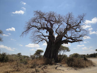 baobab by ilhamt
