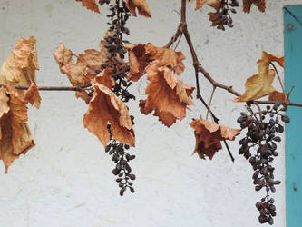 Dried grapes by ilhamt