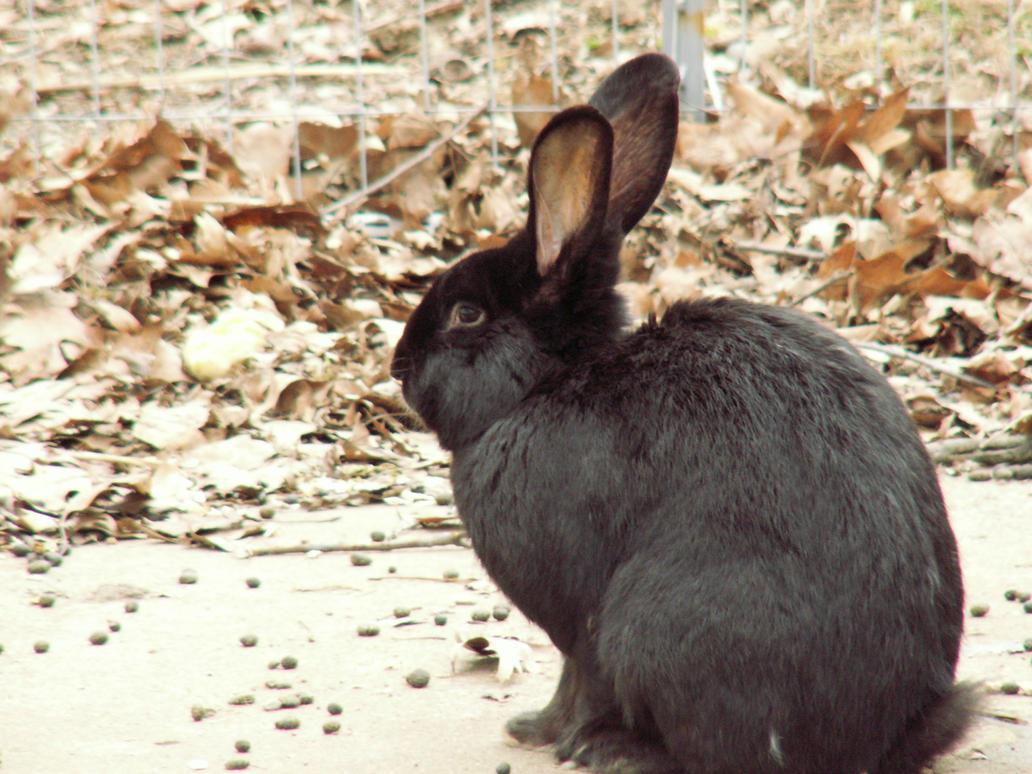 Black Rabbit by b1u3f0x on DeviantArt