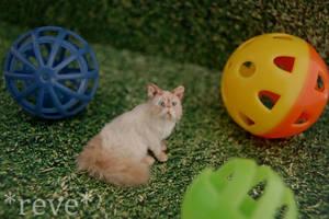 Miniature Himalayan Cat * Handmade Sculpture * by ReveMiniatures