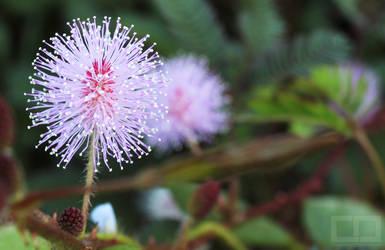 Makahiya Flower