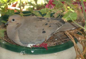 Dove Egg