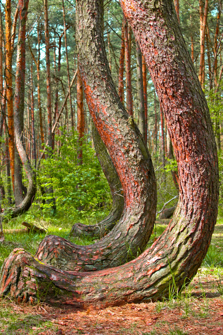 Crooked Forest, Poland.