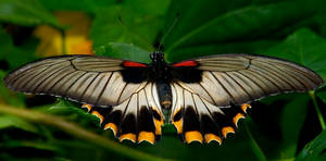 Yellow Tailed Butterfly