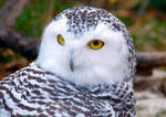 Snowy Owl take 2.