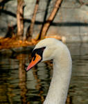 Portrait of a swan.