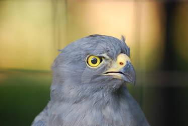 Eagle Habado by K2KRNL