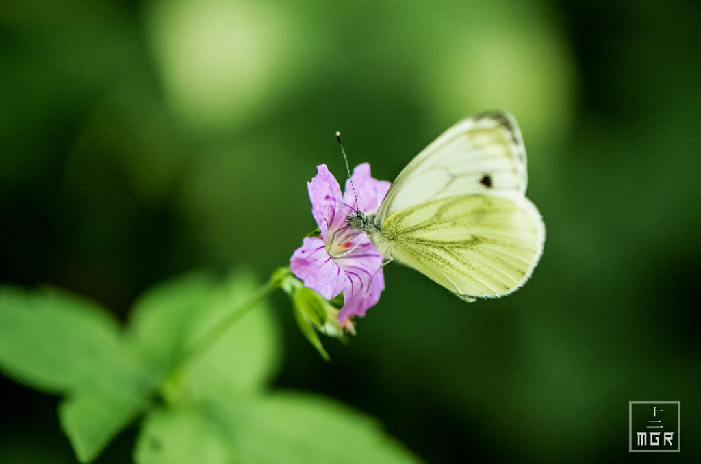 White Winged Buttefly _ Green by JuuniPhoto