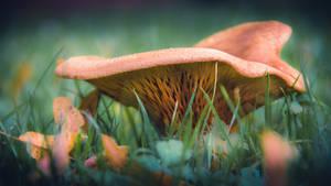 Mushroom III (1)