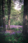 Tocil Woods Bluebells III