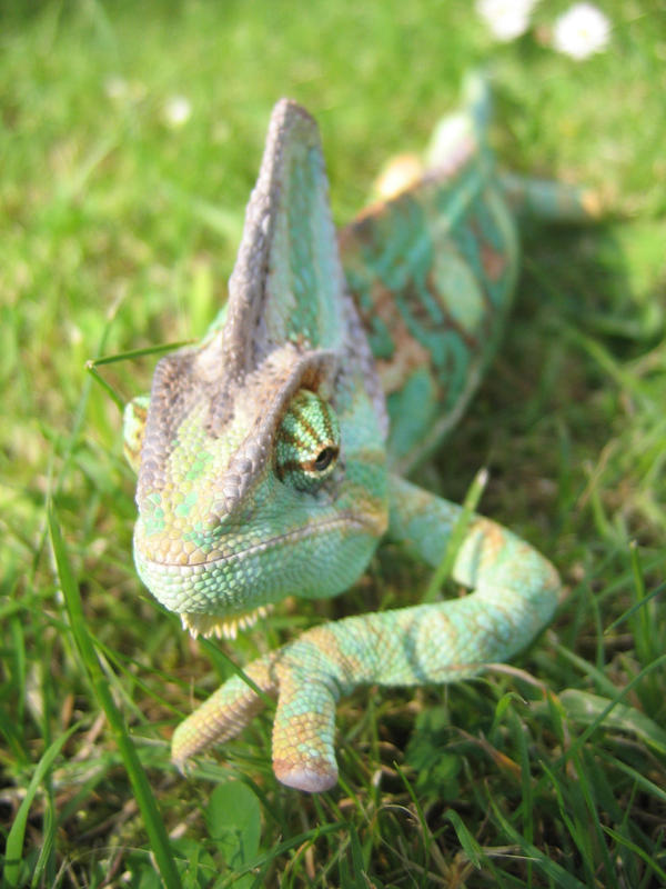 Chameleon by johrod1418