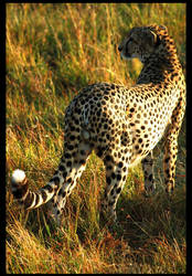 Cheetah by ChottoWolf