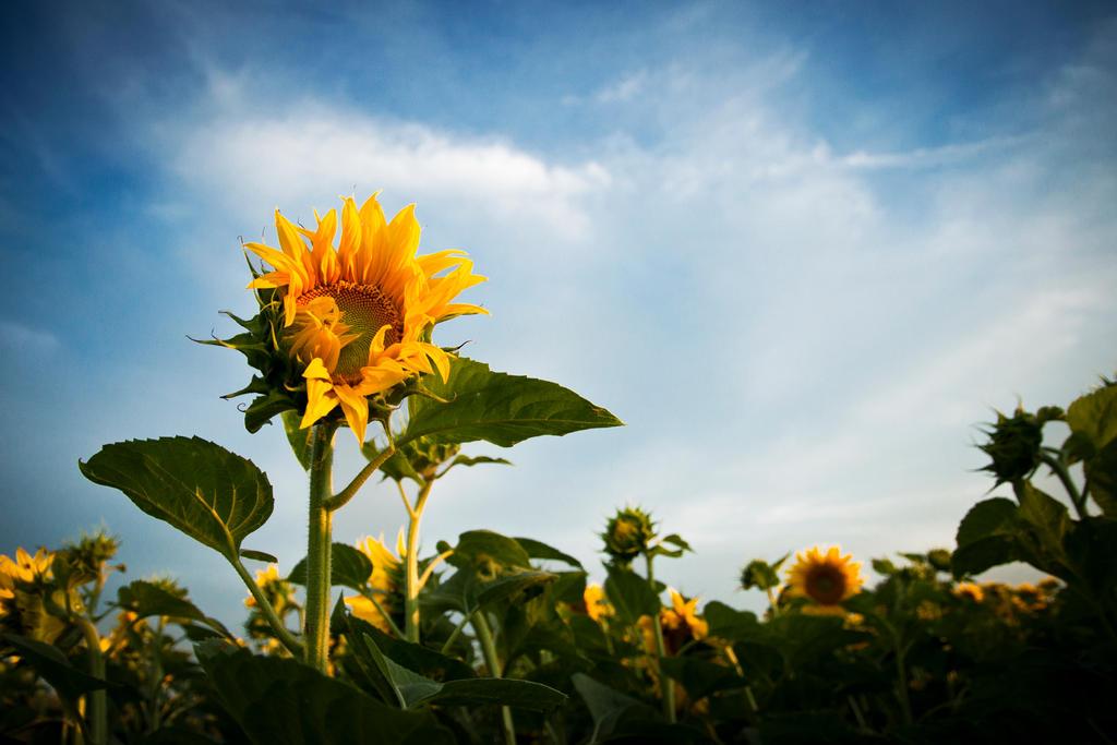 Sunflower by DavidGrebeci