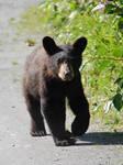 Black Bear Cub Stock 1