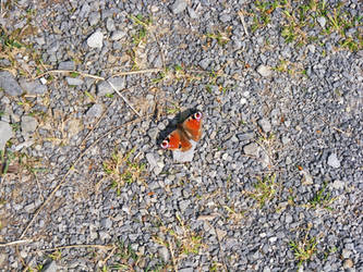 butterfly picture by digitalrich