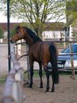 Bay holstein stallion I