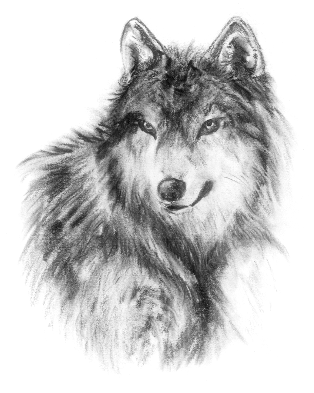 Pencil Drawings Of Wolves Faces realistic Wolf 2 By Ishisu