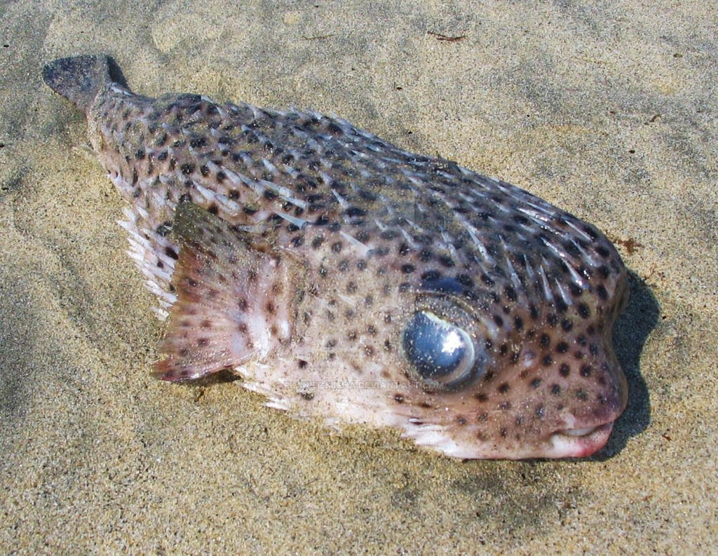 Deflated puffer fish on sand by planet misha on deviantart for Puffer fish sand art